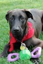 Sasha, member of the dogtotting.net family