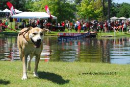 Dog diving at Pawzoola 2015