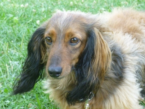 Love the highlights on the Dachshund!