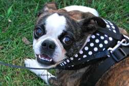 woofstock 2015 bulldog dogtrotting.net