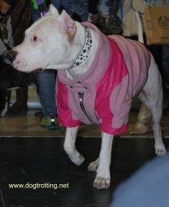 pitbull blog