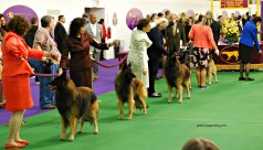 WKC Dog Show Breed Judging 2