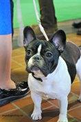 WKC Dog Show Breed Judging 4
