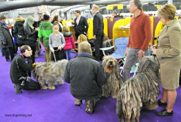 WKC Dog Show Breed Judging 9