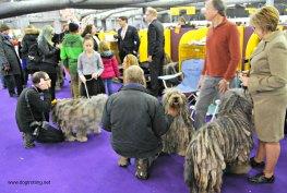 WKC Dog Show Breed Judging 9