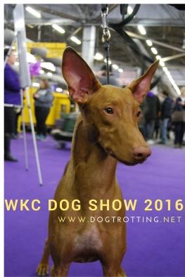 WKC dog show day 2