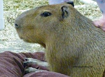 campybara