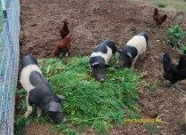 Pigs at Dog friendly Shaker Village Kentucky dogtrotting.net