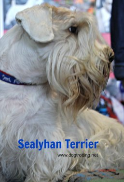 Sealyhan Terrier Westminster Dog Show 2017