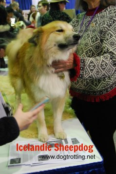 Westminster Dog Show 2017 Icelandic Sheepdog