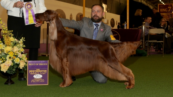 Westminster Best of Show Reserve Champion Irish Setter