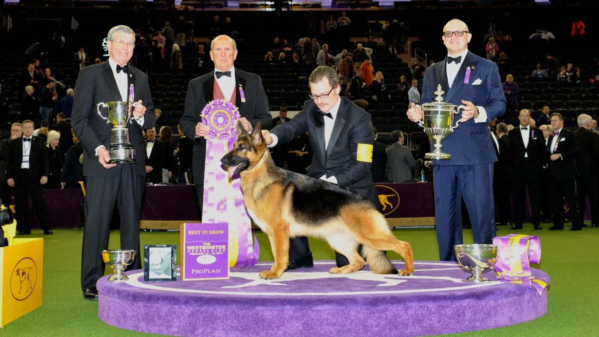 German Shepherd Show Dog Winner