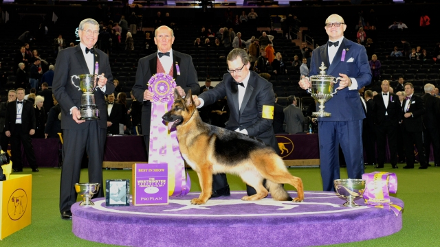 Westminster Best of Show German Shepherd
