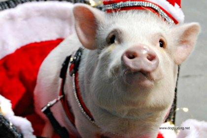 Canadian Pet Expo - pig www.dogtrotting.net