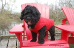 Dog on red chairs at Point Pelee National Park Canada