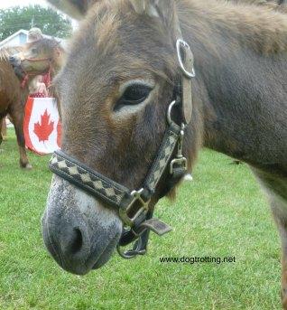 Donkey at Caledonia Canada Day 150 Festival
