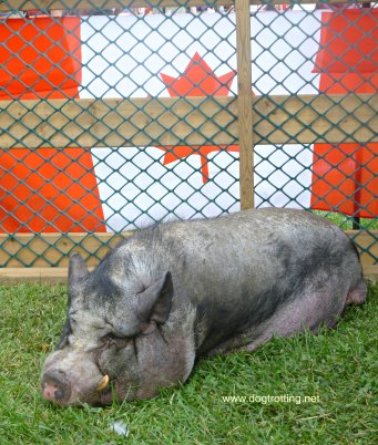 Pig at Caledonia Canada Day 150 Festival