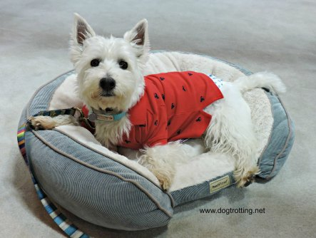 White dog on pet bed dogtrotting.net