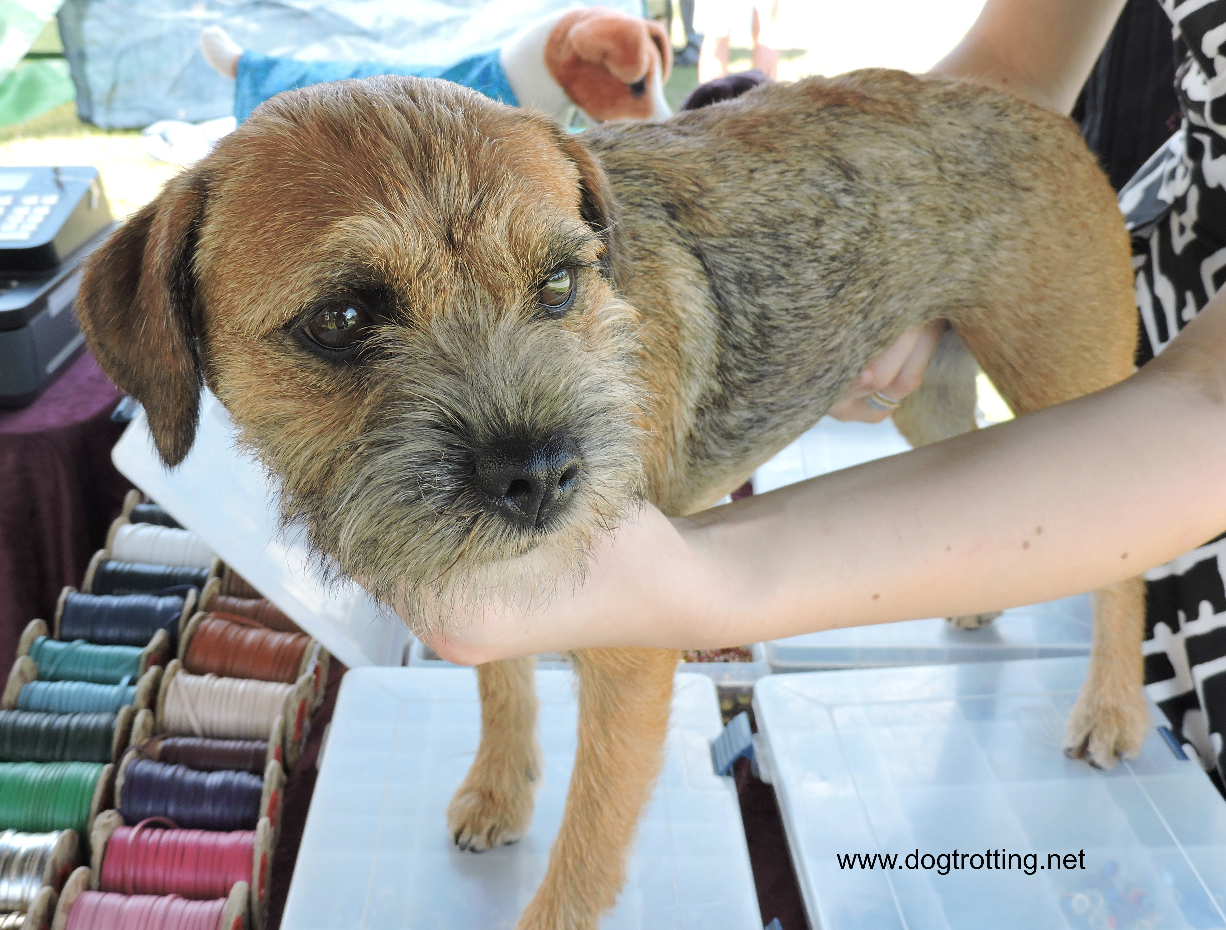 Border Terrier at dog show
