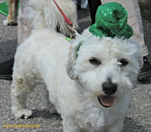 dog at Stouffville's Mutt Masquerade 2017 dogtrotting.net