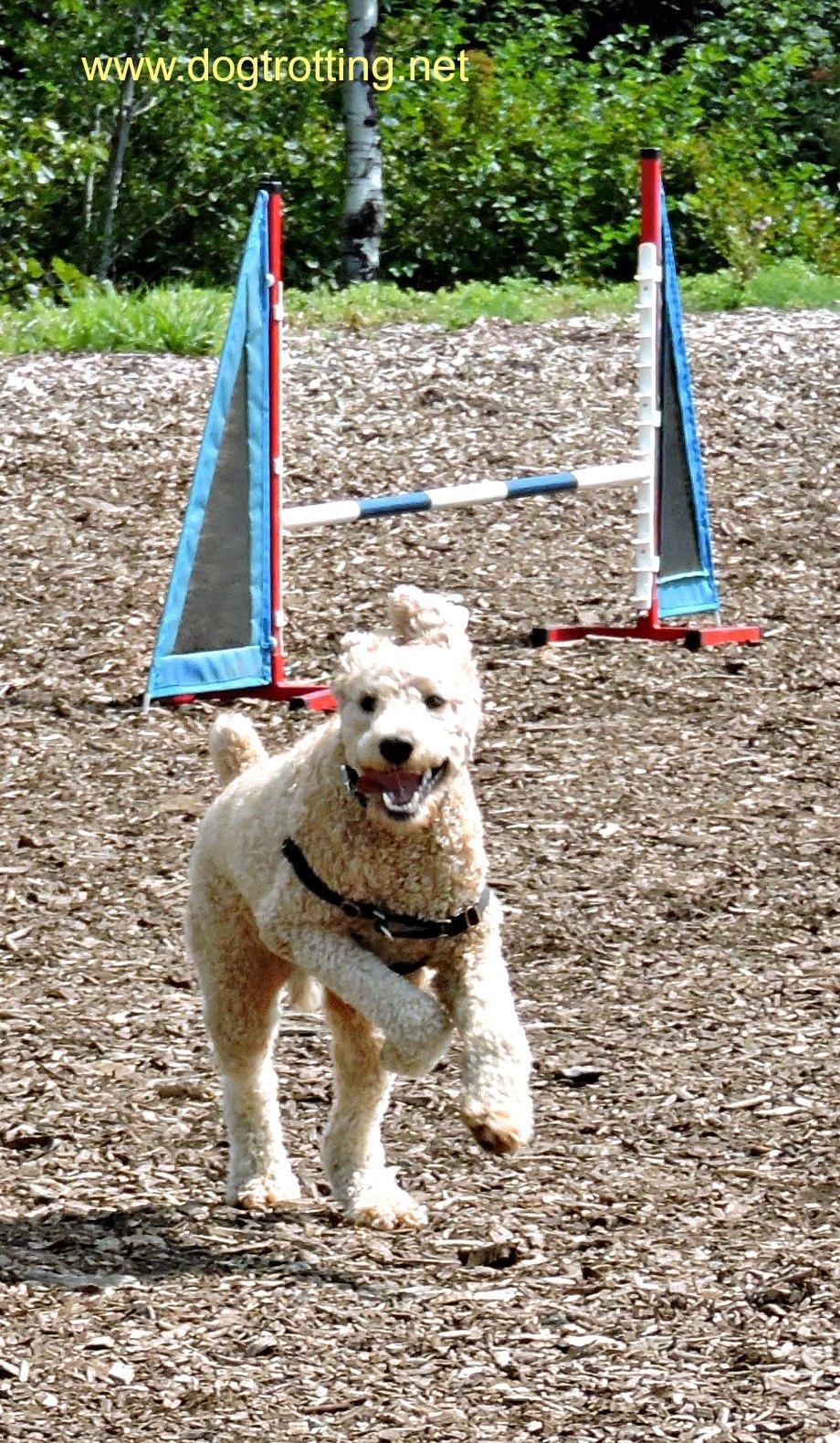 agility dog at Stouffville's Mutt Masquerade 2017 dogtrotting.net