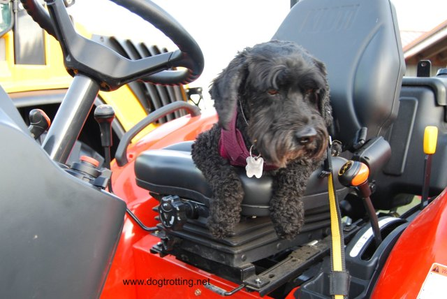 dog on tractor at Rockton Fall Fair dogtrotting.net