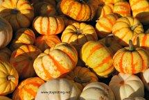 mini pumpkins at Rockton Fall Fair dogtrotting.net
