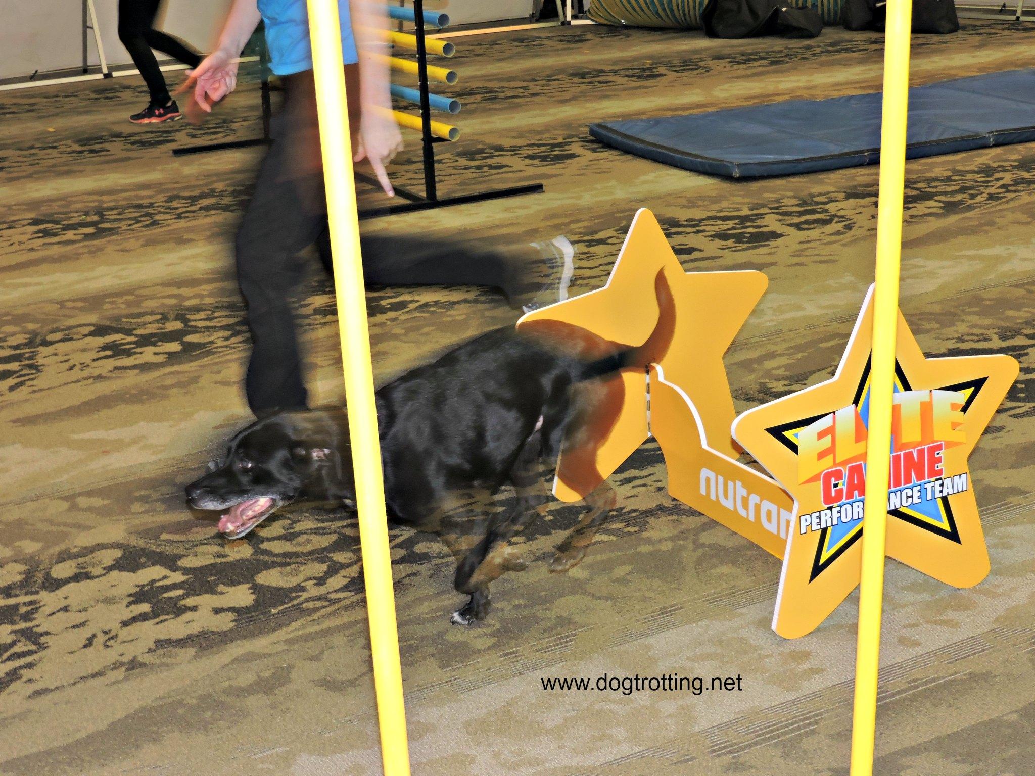 Elite Canine Performance Team dog jumping