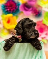black dog Easter portrait in front of flowered wall