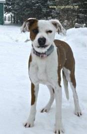 cute pitbull dog - dogtrotting.net