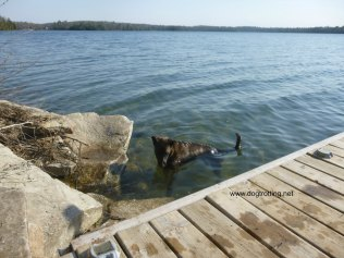 brown dog in water by dock