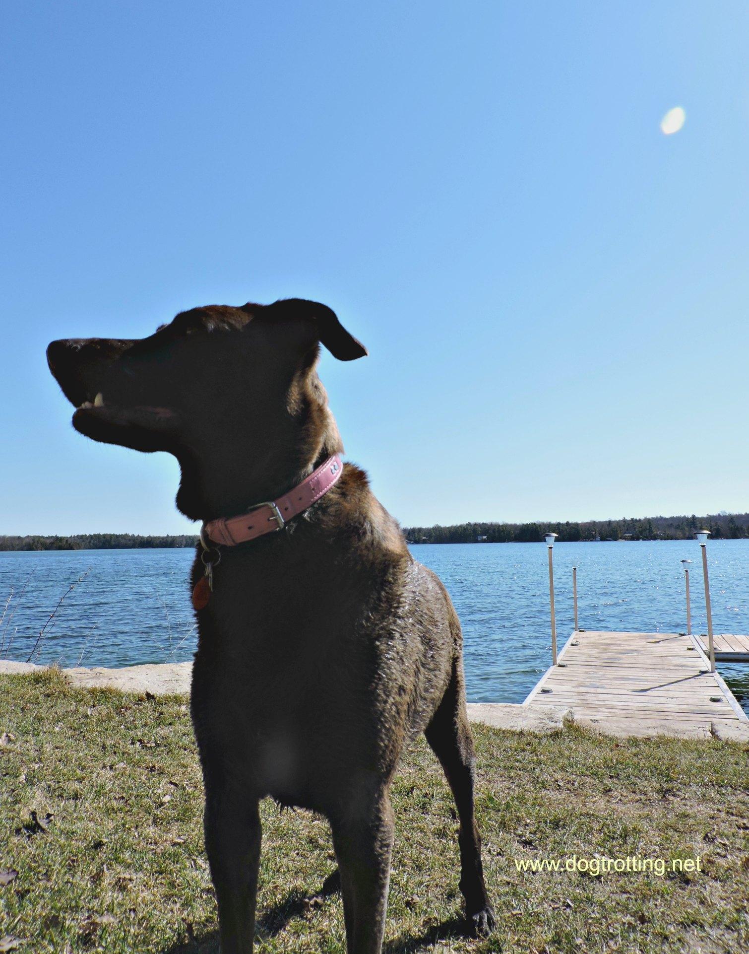 big brown dog by dock near lake