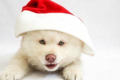 Puppy Christmasdog Pet Animal Cute Dog Christmas