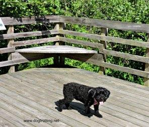 Dog on boardwalk at West Virginia Botanic Gardens