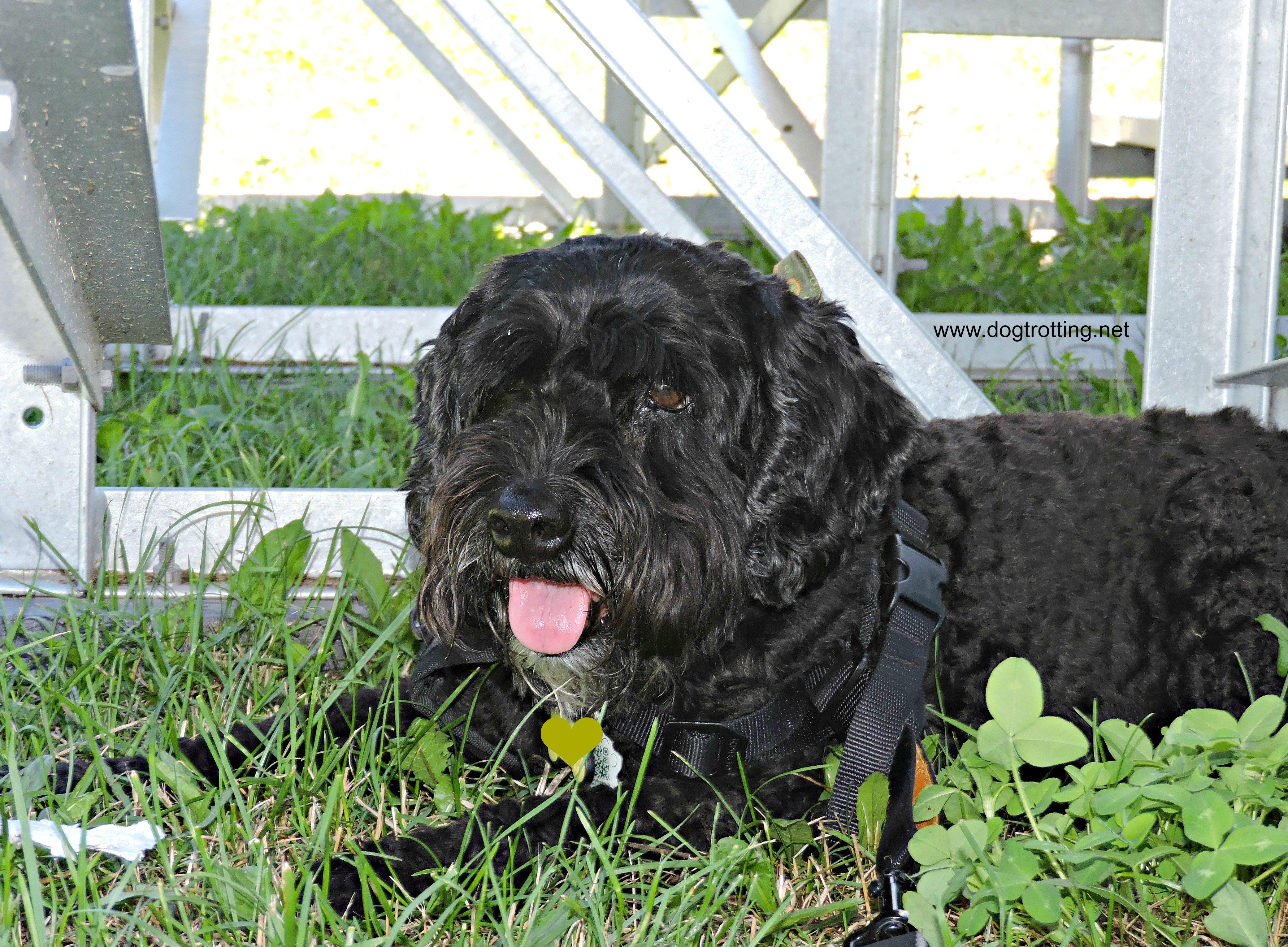 cute black dog at National Sheep Dog Trials, Kingston, Ontario