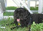cute black dog at National Sheep Dog Trials, Kingston, Ontario