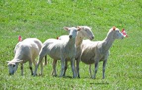 sheep at National Sheep Dog Trials, Kingston, Ontario