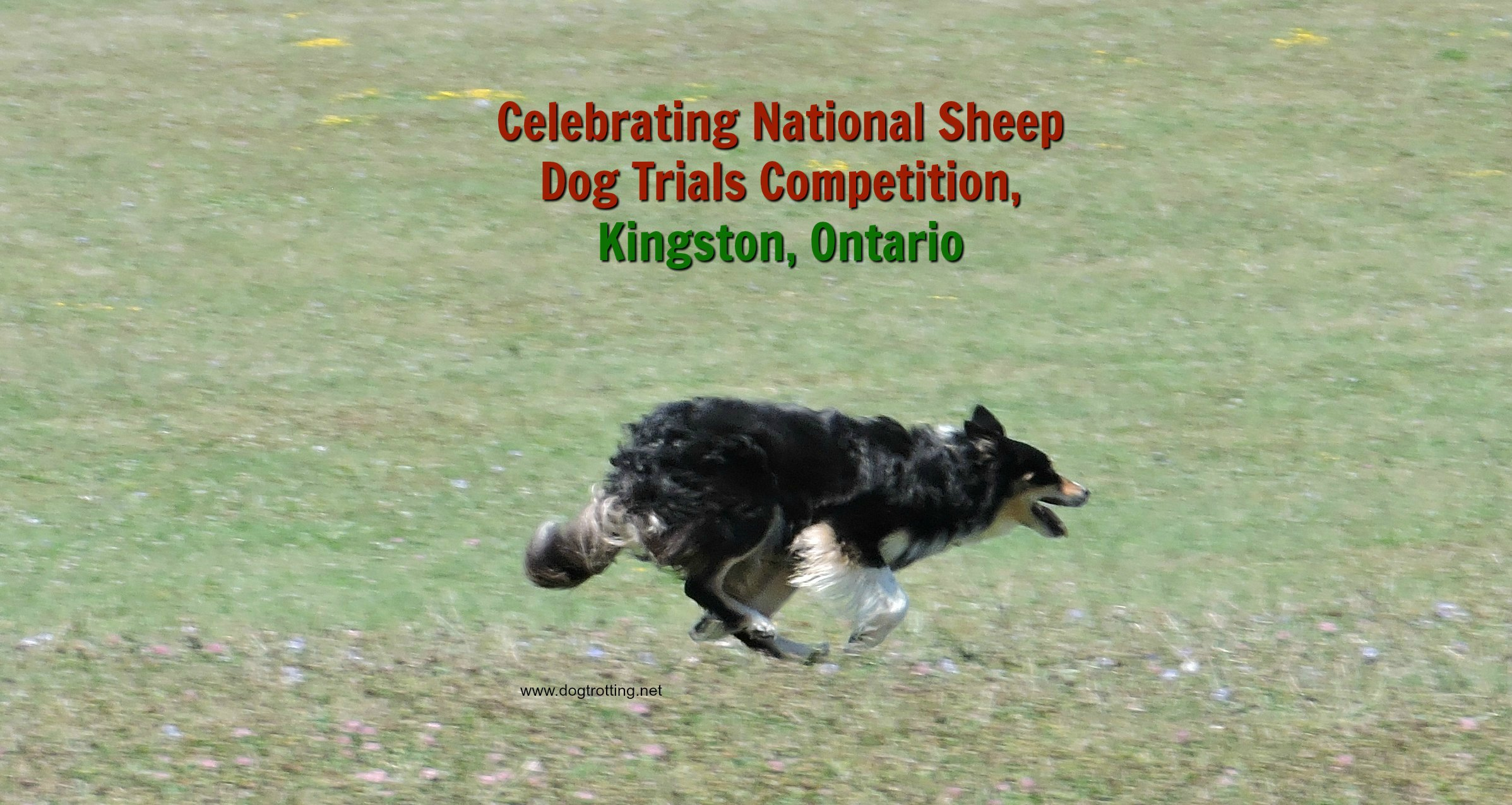 Travel Kingston, ON: Kingston Sheep Dog Trials Festival. Yes, Sheep Herding.