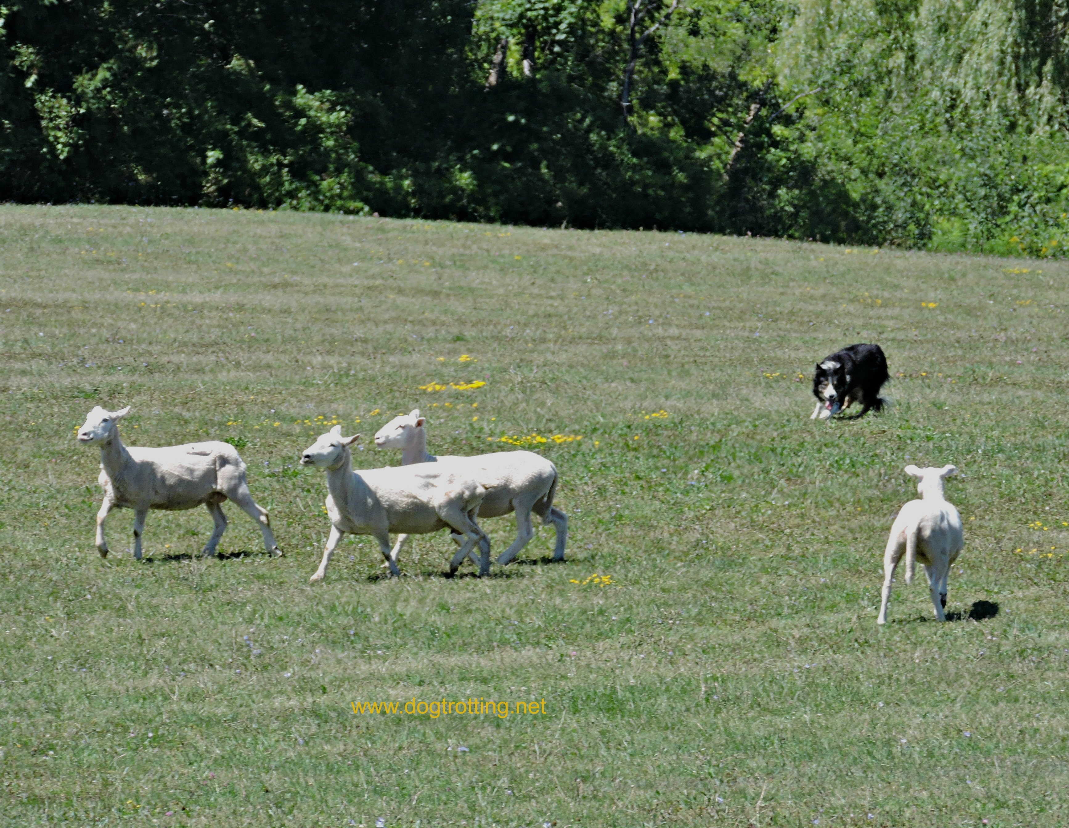National Sheep Dog Trials, Kingston, Ontario
