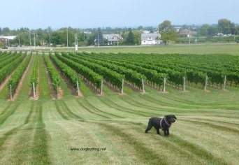 dog at Peninsula Ridge Winery