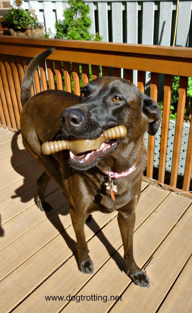 dog with benebone dogtrotting.net