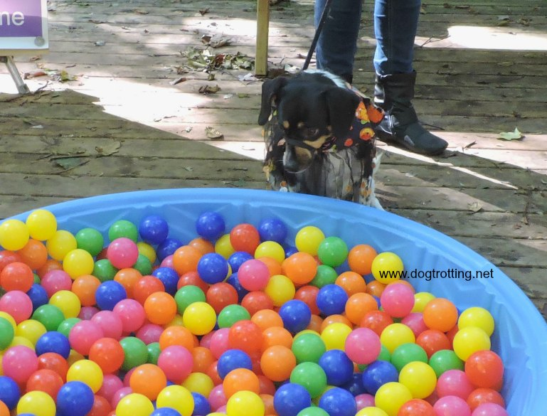 dog at ball pit at dogtoberfest