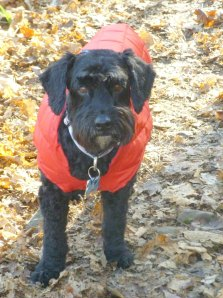dog in red coat