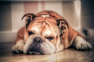 English_Bulldog_about_to_sleep