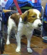 dog at AKC Meet the Breeds