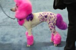 groomer grooming Pink and purple dog at grooming competition at SuperZoo