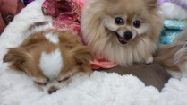two fluffy dogs at Canadian Pet Expo 2019