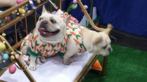 two bull dogs in dresses at Canadian Pet Expo 2019