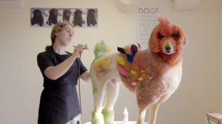 Well Groomed: transforming a dog into a chicken for competition