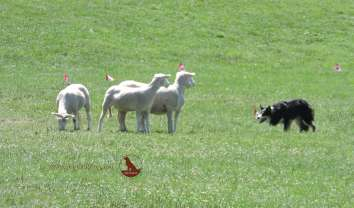 sheep dog herding in kingston ontario